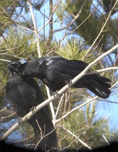 social crows