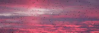 sky-crows